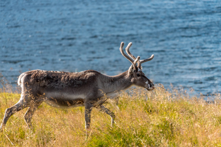 nordkapp   north cape   norway   reindeers  midnight sun   travel   the man in the front seat   bwd vacations