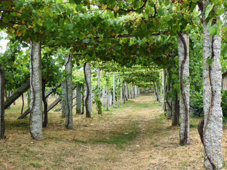 galicia   albarino grapes   rias baixas   spain   tours   travel   your journey begins   bwd vacations